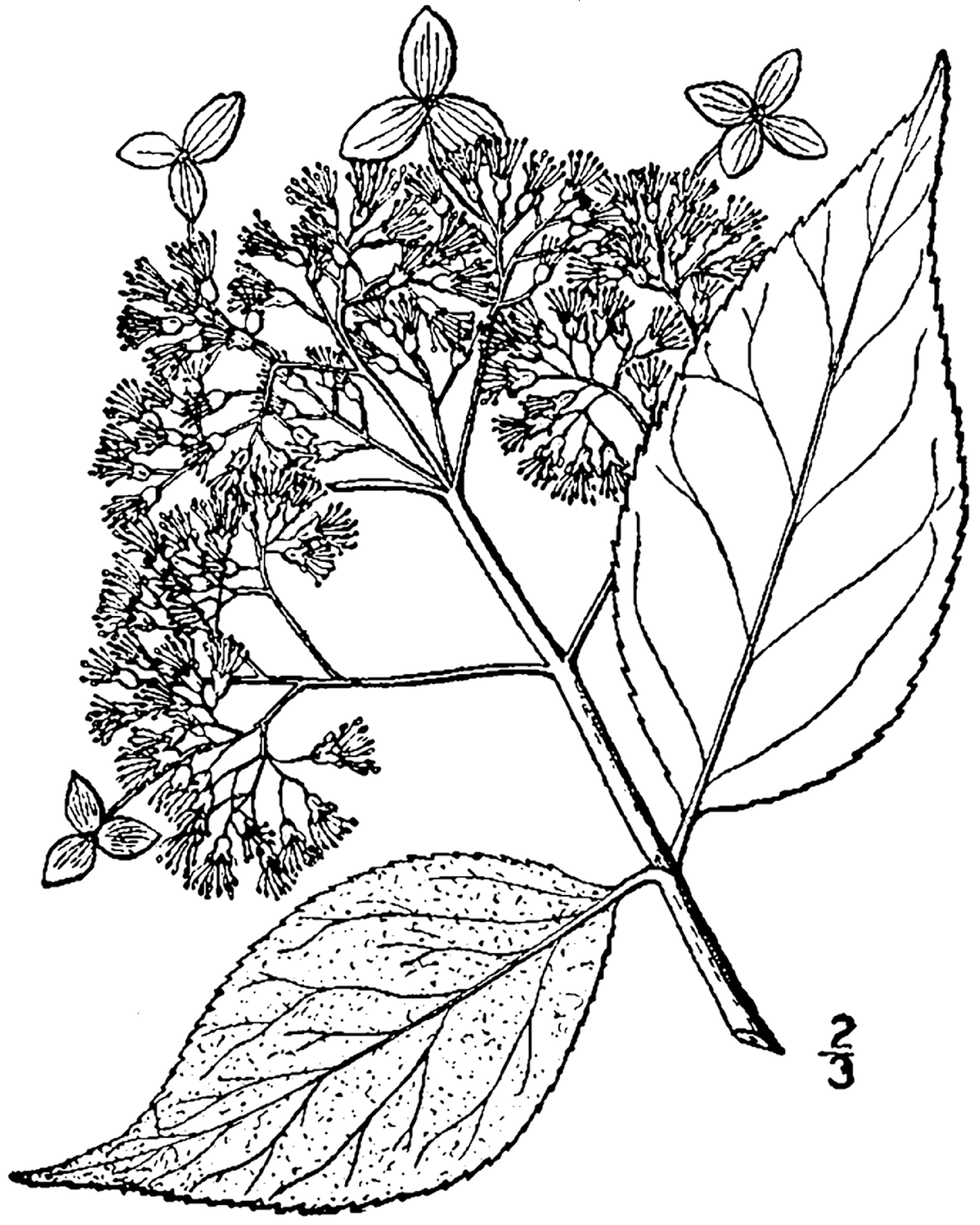 1595x1994 Filehydrangea Cinerea Drawing.png