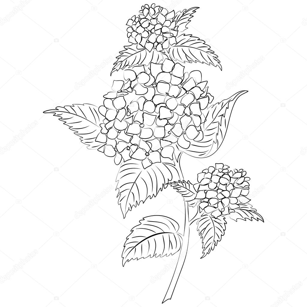1024x1024 Vector Ink Sketch Hydrangea Flower Stock Vector Tiverets