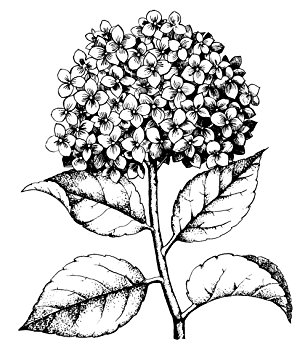 308x355 Hero Arts Woodblock Stamp, Hydrangea Arts, Crafts