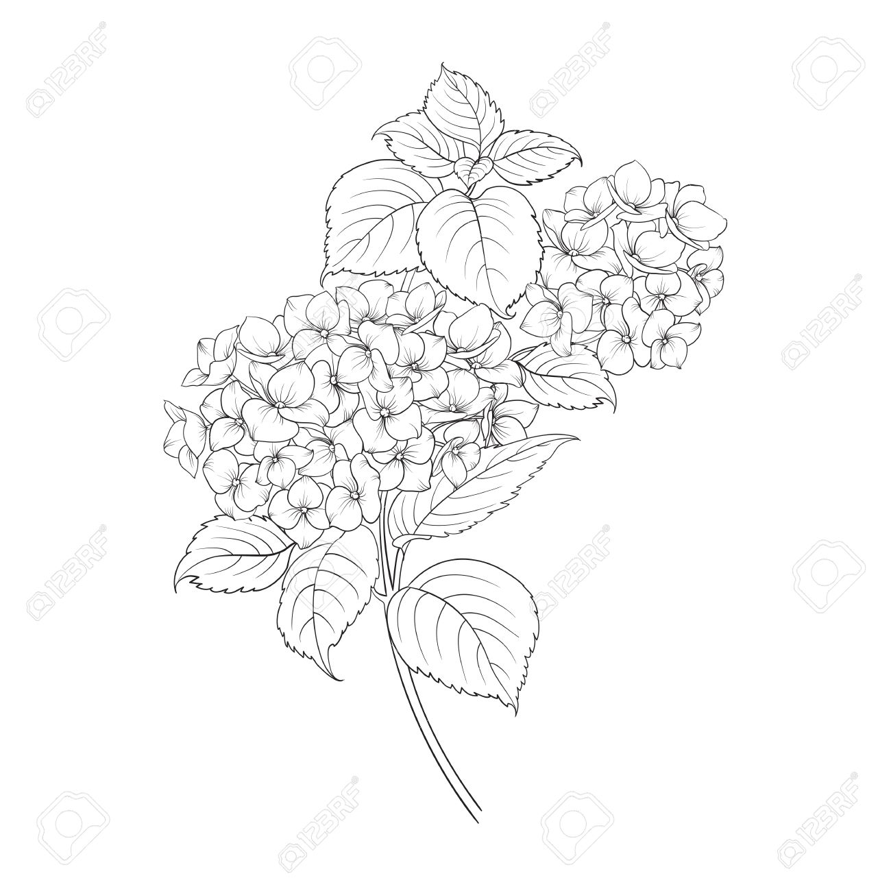 1300x1300 Blooming Flower Hydrangea On White Background. Mop Head Hydrangea
