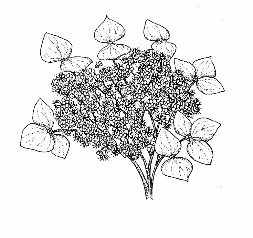 1024x962 Drawing Hydrangea Flower Hydrangea Coloring Pages, White Hydrangea