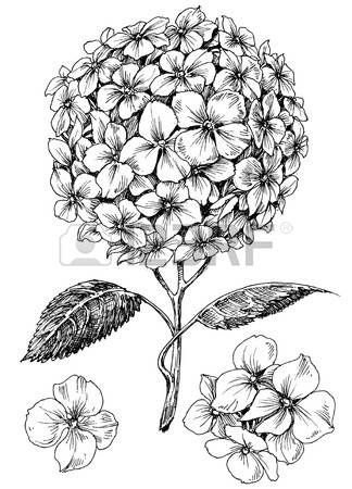 Hydrangeas Drawing