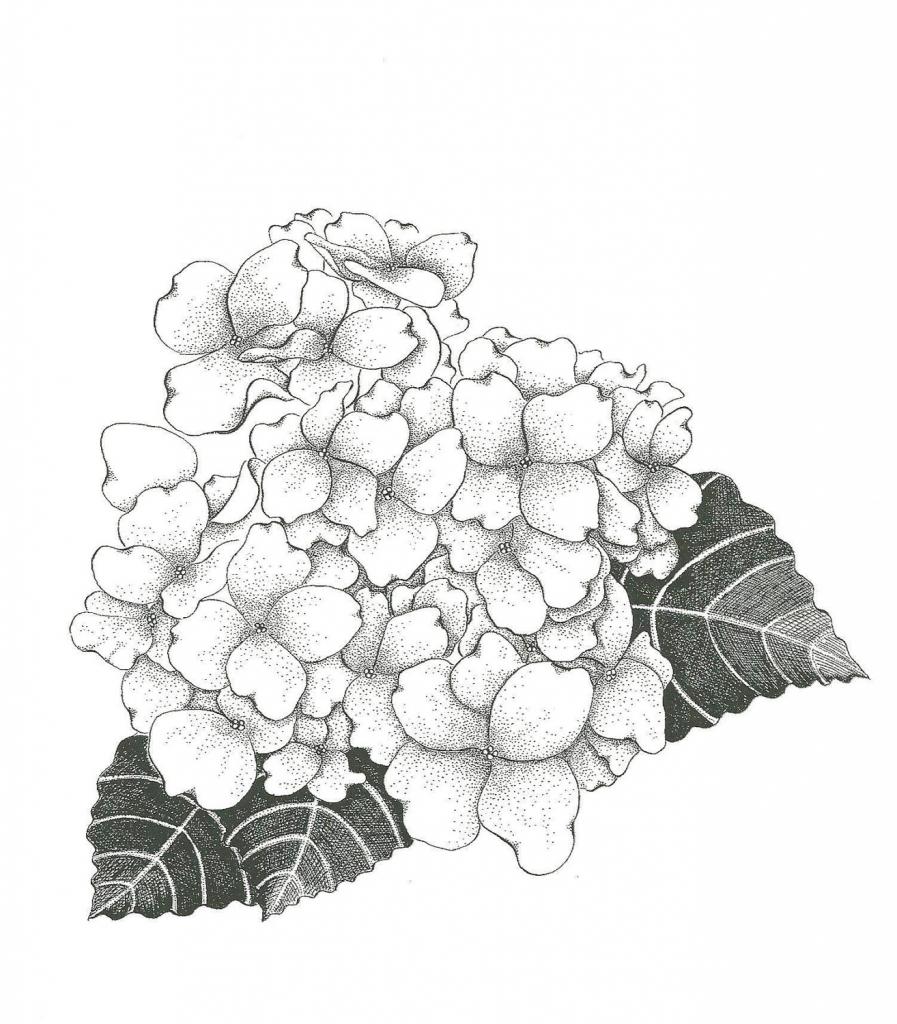 897x1024 Drawing Hydrangea Flower