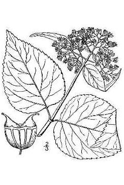 244x365 Clay And Limestone Wildflower Wednesday A Fine Native Hydrangea