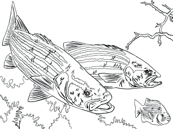600x449 Fishing Color Pages Bass Fish Outline Sketch Coloring Page View