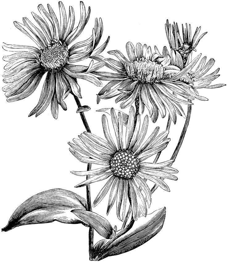 736x851 Black And White Pictures Of Flowers To Draw