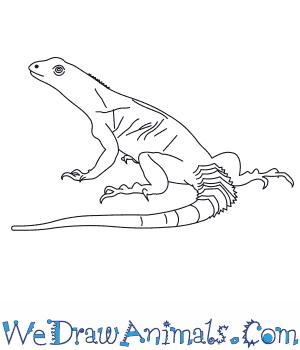 300x350 How To Draw An Oaxacan Spiny Tailed Iguana