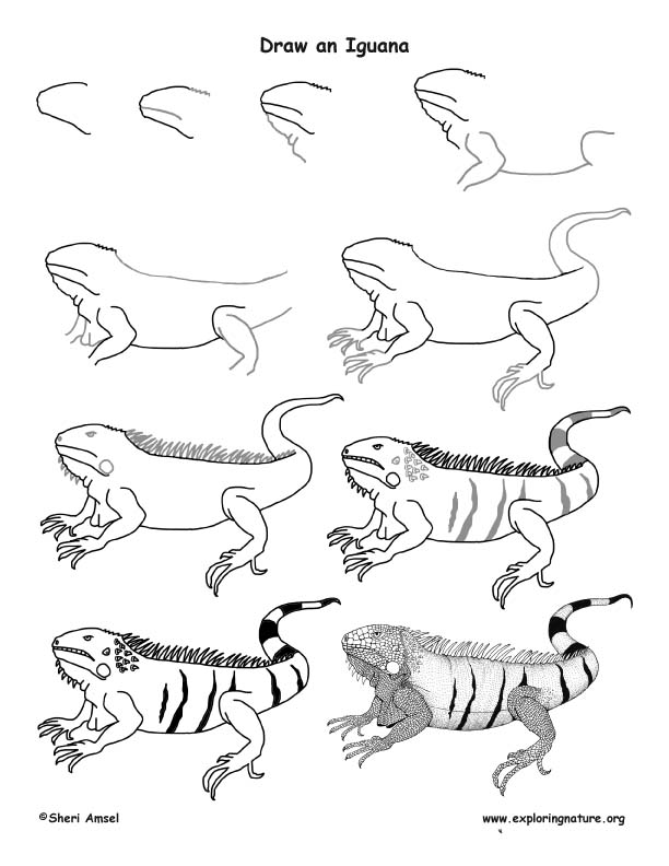 612x792 Iguana Drawing Lesson