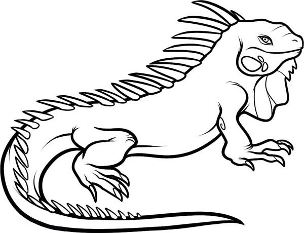 600x460 Iguana Coloring Page Large Male Dominant Iguana Coloring Page