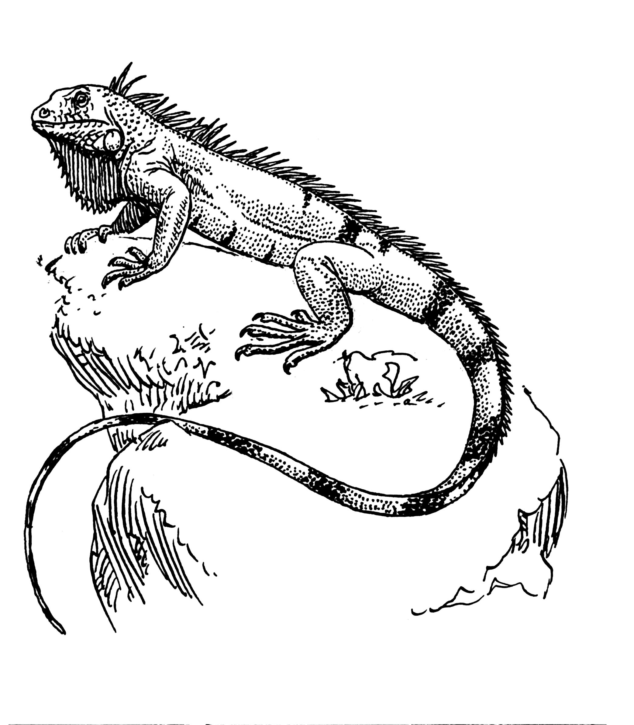 2086x2384 Hewan Terlangka2016 Iguana Drawing Images
