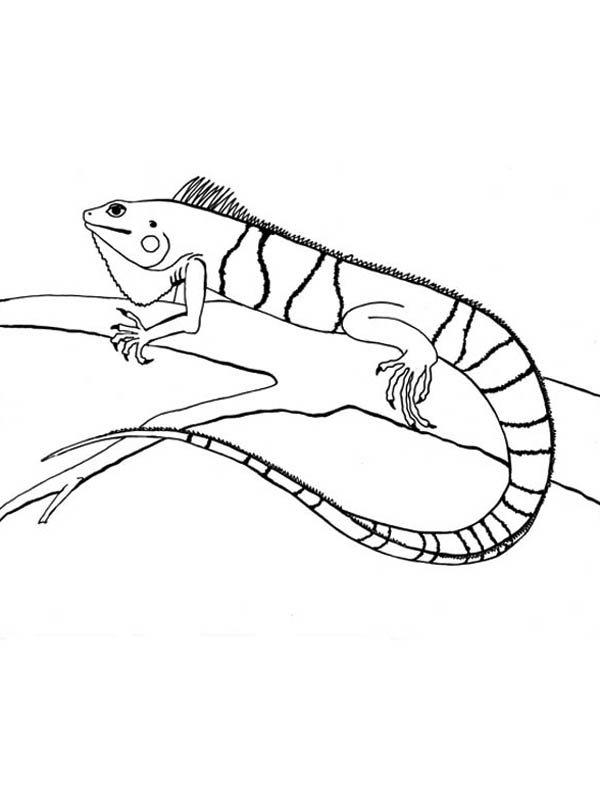 600x804 Striped Iguana On A Tree Coloring Page