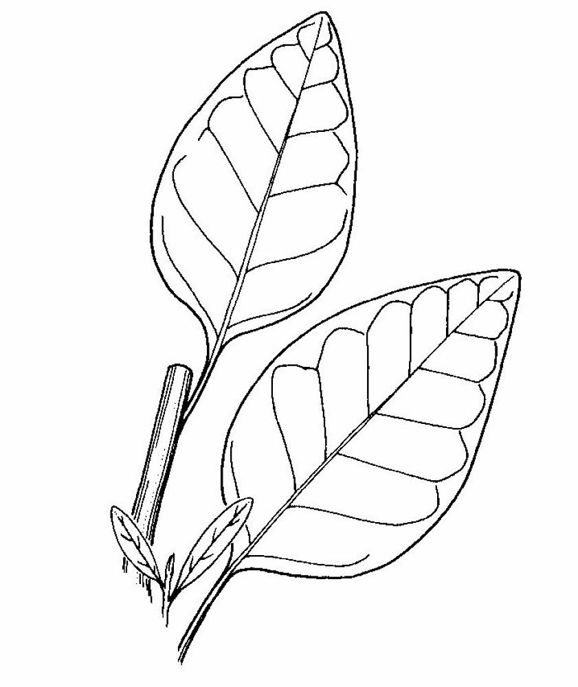 841x1000 Nicotiana Rustica (Aztec Tobacco) Go Botany