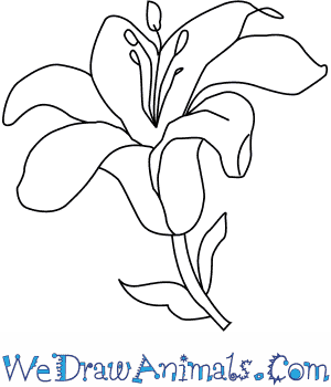 300x350 How To Draw A Lily Flower