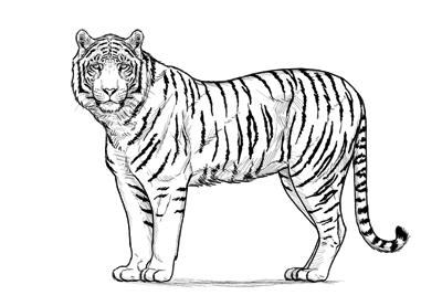 400x277 How To Draw A Tiger
