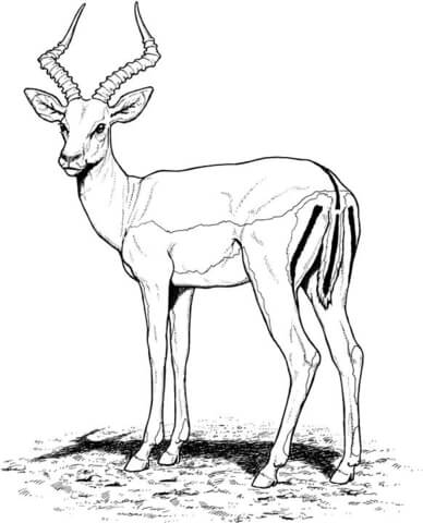 388x480 Impala Antelope Coloring Page Free Printable Coloring Pages