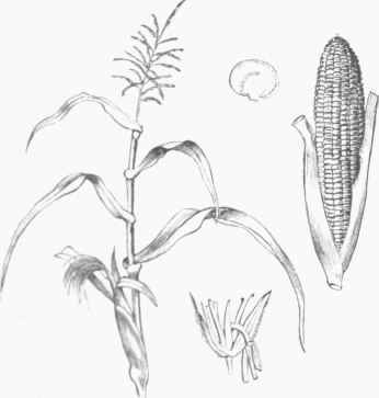 346x363 Muzk, Or Indian Corn (Zea Mays)