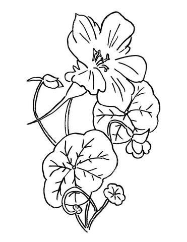 371x480 Nasturtium Or Indian Cress Coloring Page Free Printable Coloring
