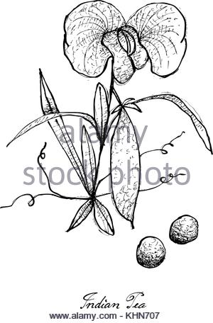 300x456 Sweet Pea Flower Drawing Illustration. Black And White With Line