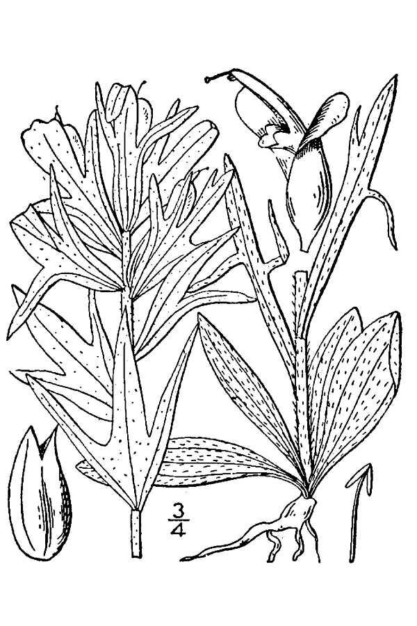 600x900 Large Image For Castilleja Coccinea (Scarlet Indian Paintbrush