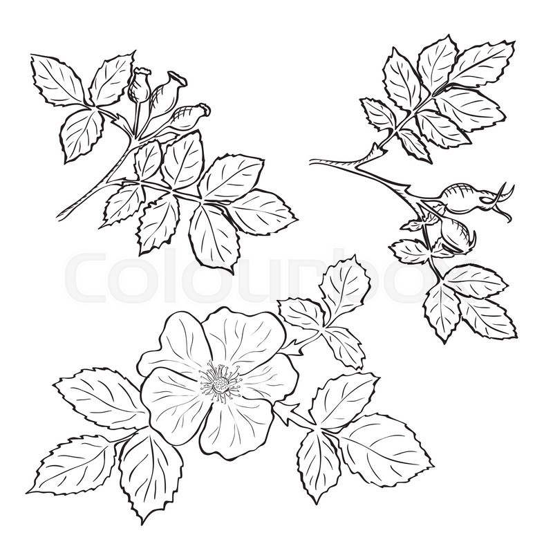 800x800 Hand Drawn Sketch Dog Rose Flowers And Fruits, Ink Drawing