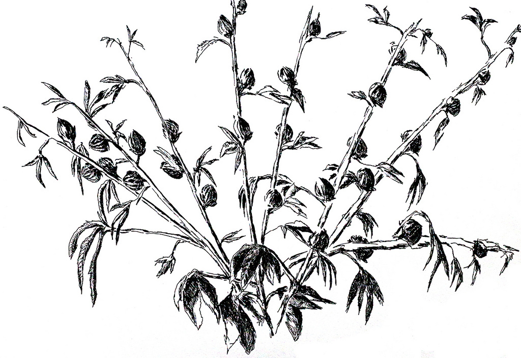 1024x703 One Of The Flower Drawings Of Flowers In Pencil Ink