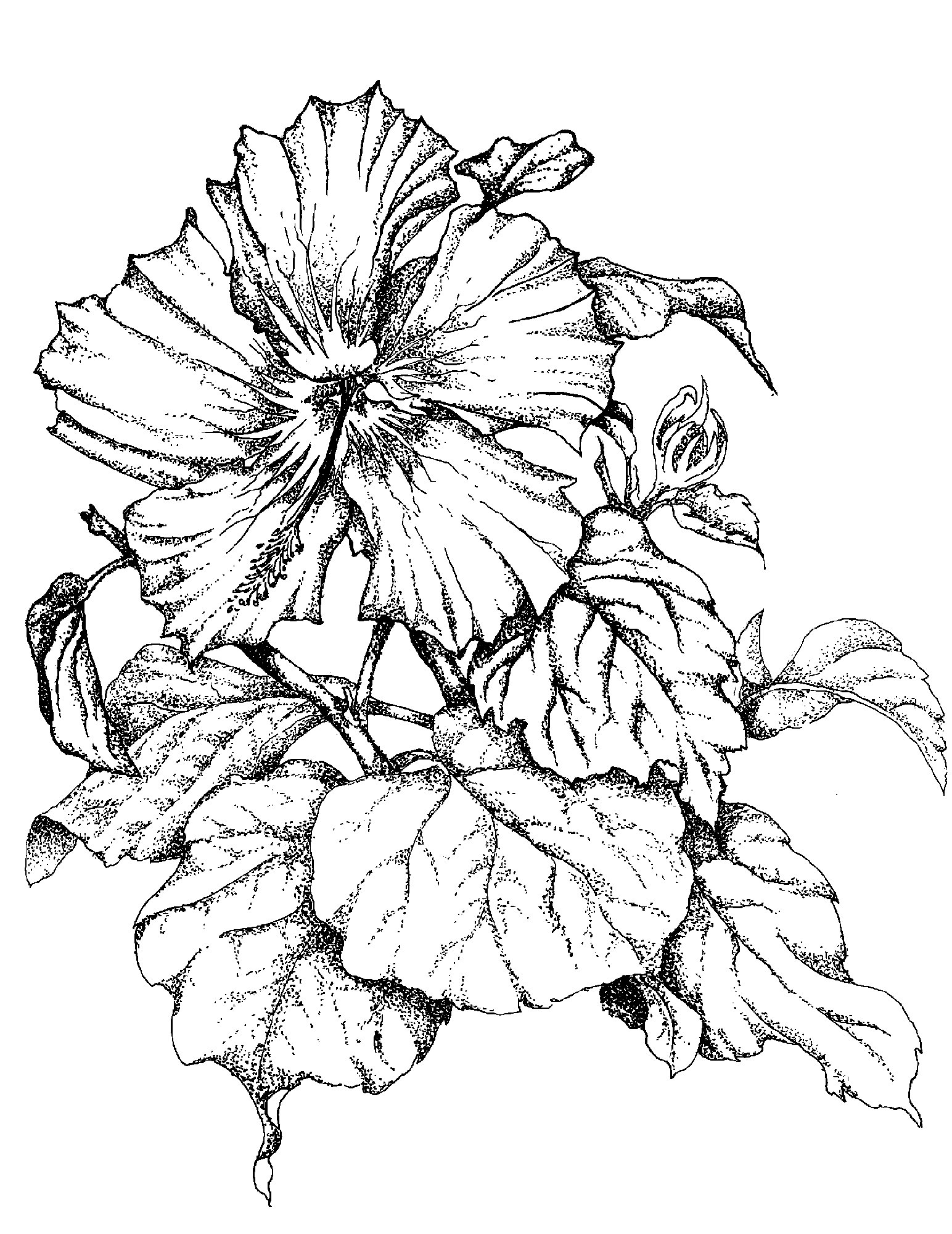 1544x2000 Sketches Of Flowers Single Hibiscus Flower Art I Like