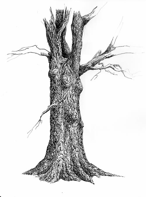 500x674 Tree. Pen And Ink Drawing Steps.