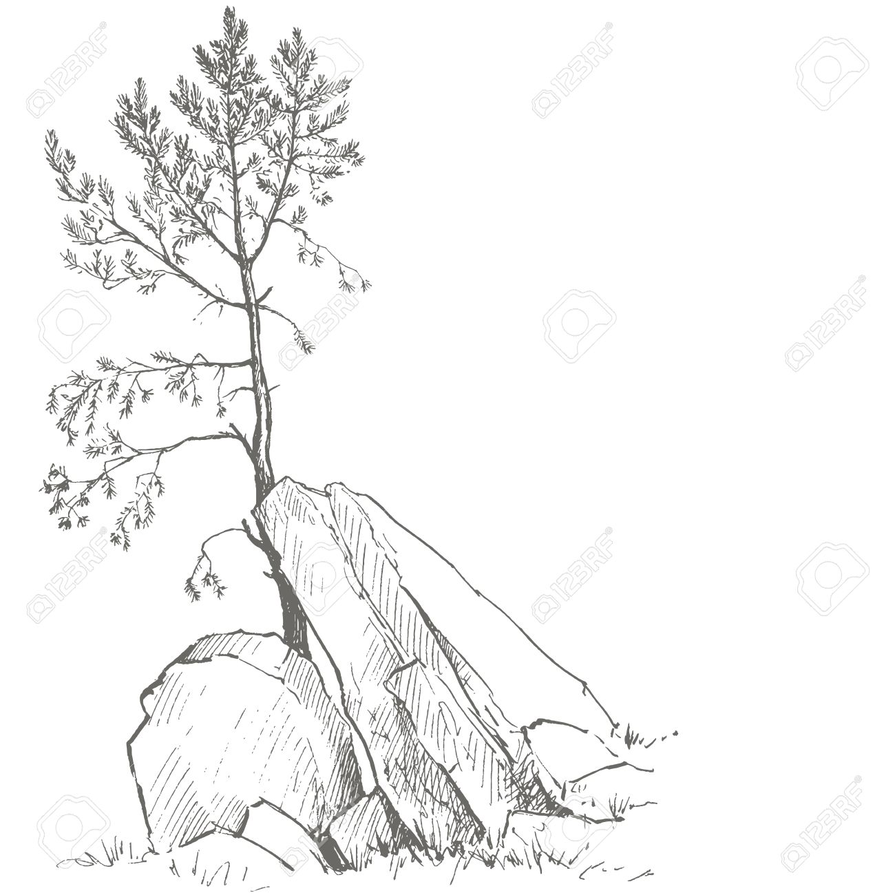 1300x1300 Young Pine Tree And Rocks Drawing By Ink, Sketch Of Wild Nature