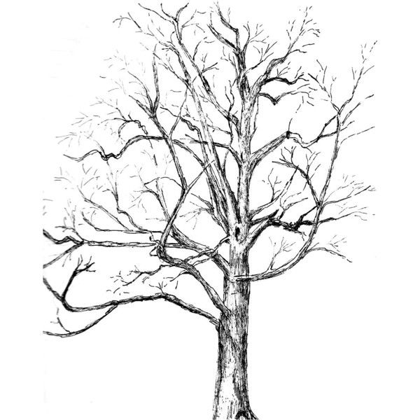 600x600 Custom Tree Drawing Pen And Ink Sketch Of Your Tree From Photos