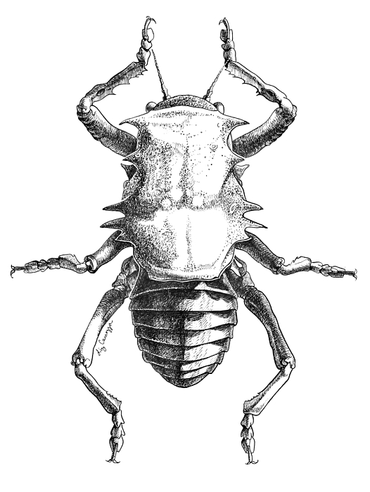 526x700 African Insect Study Drawing By Elizabeth Carrozza