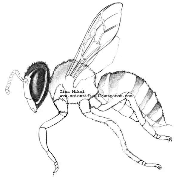 600x600 Bee Line Drawing, Pencil, Scientific Illustration