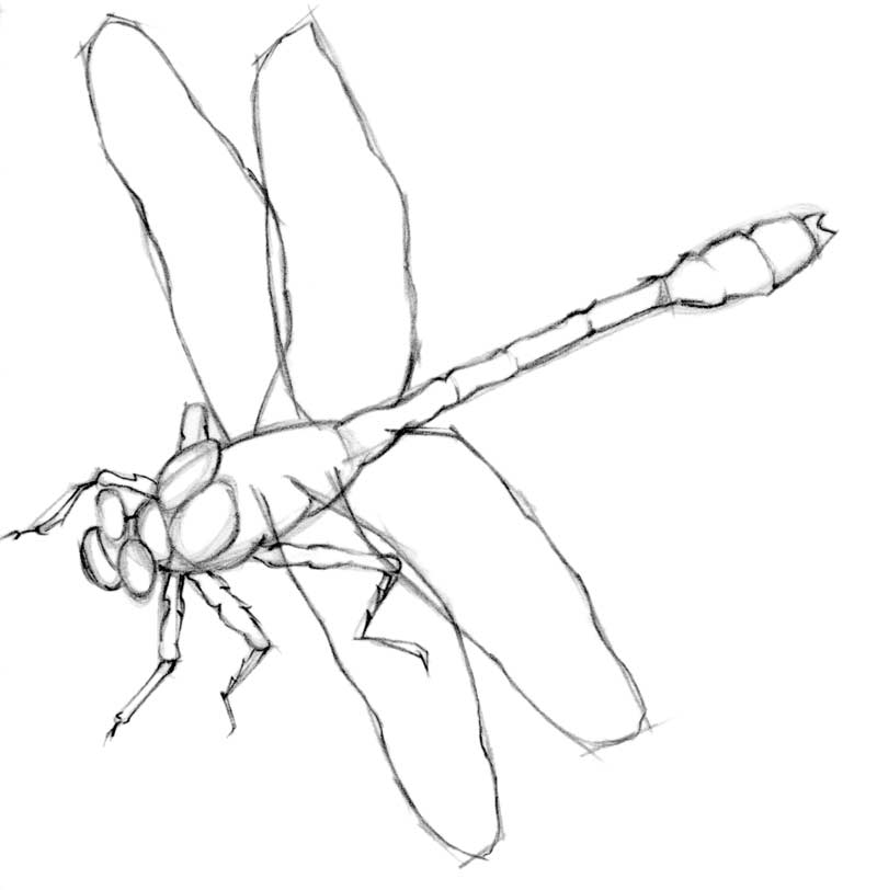 800x812 Drawing Lesson Dragonfly The Scribbles Institute