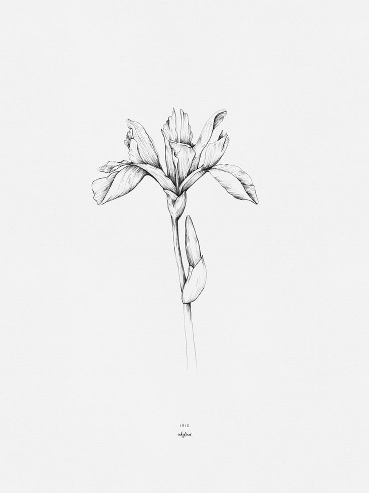 Iris Botanical Drawing