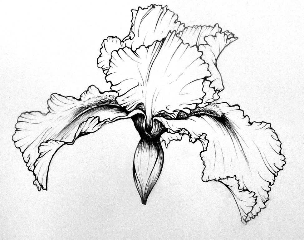 974x769 Flower Studies Iris By