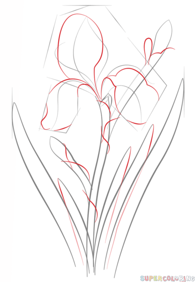 399x575 How To Draw An Iris Flower Step By Step. Drawing Tutorials