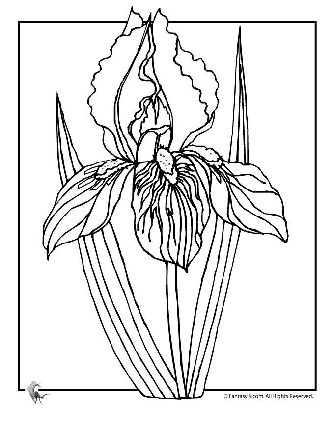 680x880 22 Best Iris Line Drawings Images On Flower Drawings