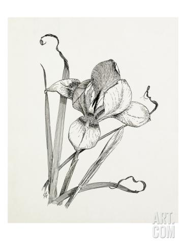 366x488 Iris Unguicularis (Iris Stylosa) Giclee Print