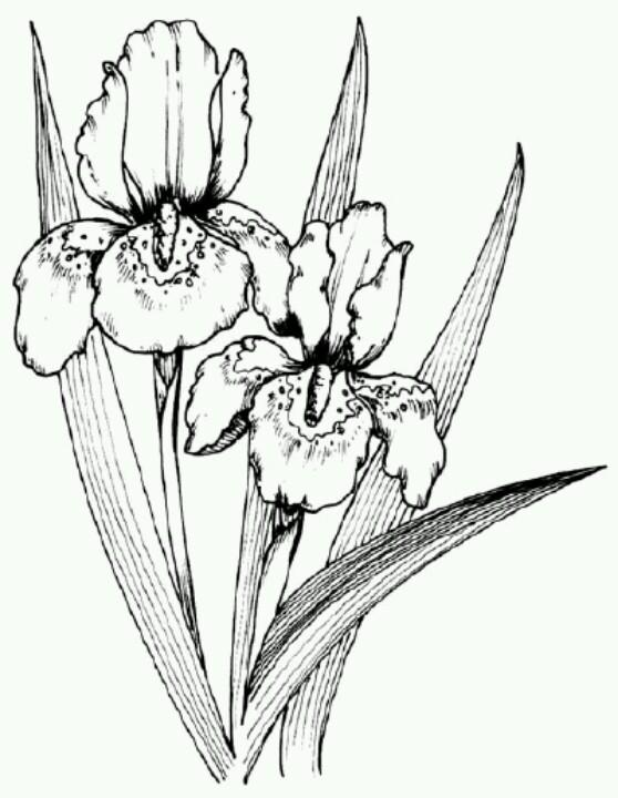 558x720 Pin By Keara Battenfield On Drawing Iris, Drawings