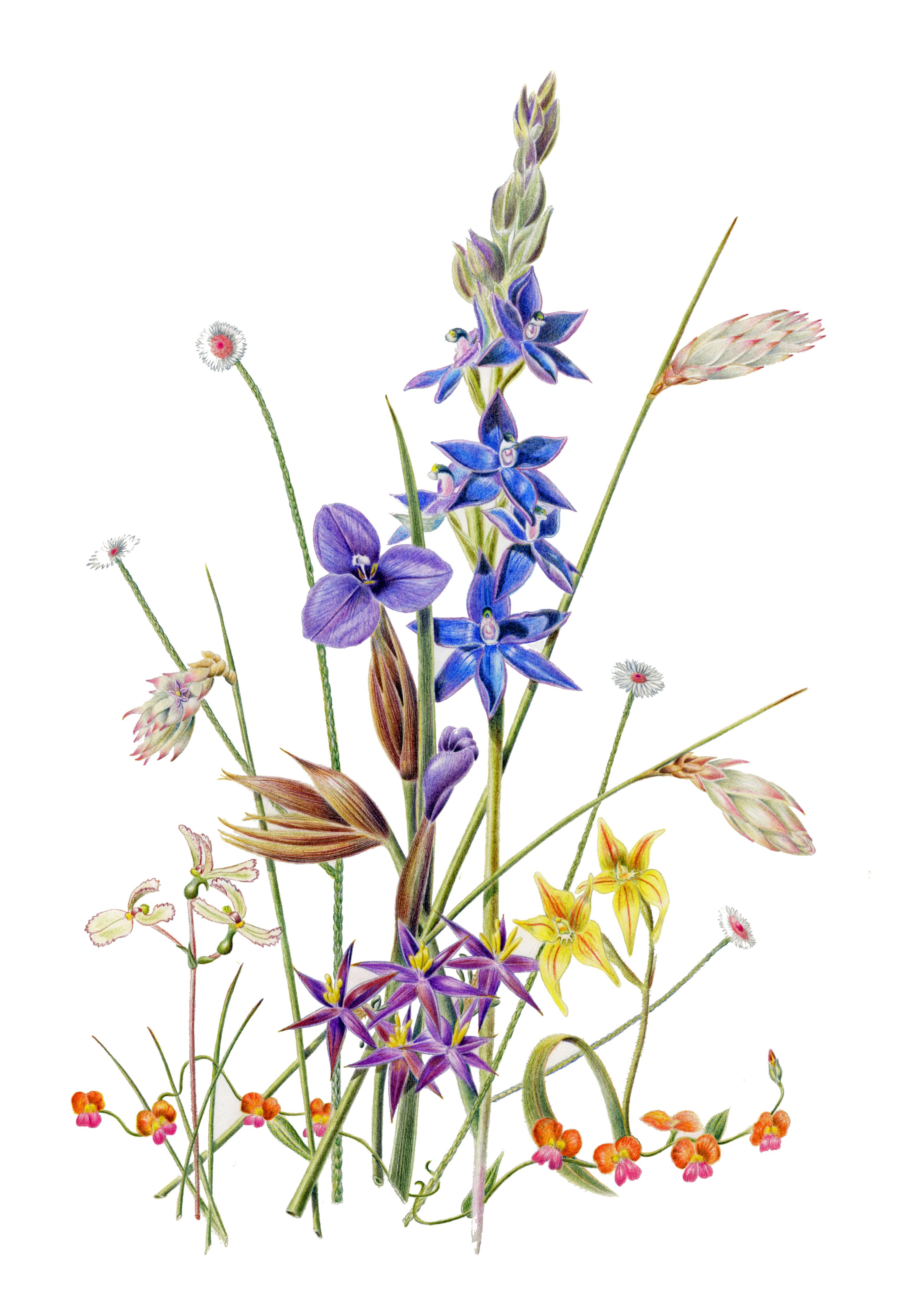 3081x4446 Wildlife Artist Mandurah Jacqueline Pemberton Botanical Artist