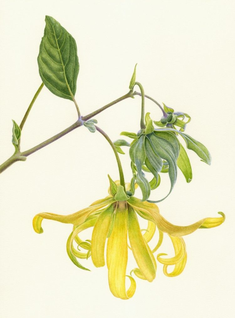 750x1016 Ylang Ylang Botanicals vintage Botanical scientific Illustration