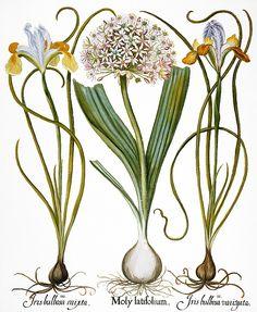 236x287 A Medieval Garden Of Botanical Illustrations