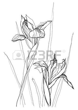 318x450 Iris Flower Drawing On White Background Royalty Free Cliparts