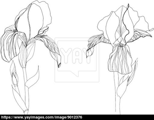 512x399 Two Iris Flowers Drawing On White Background Vector
