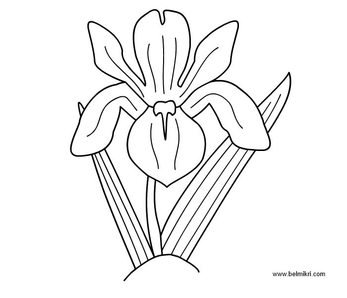 iris coloring pages - photo#11