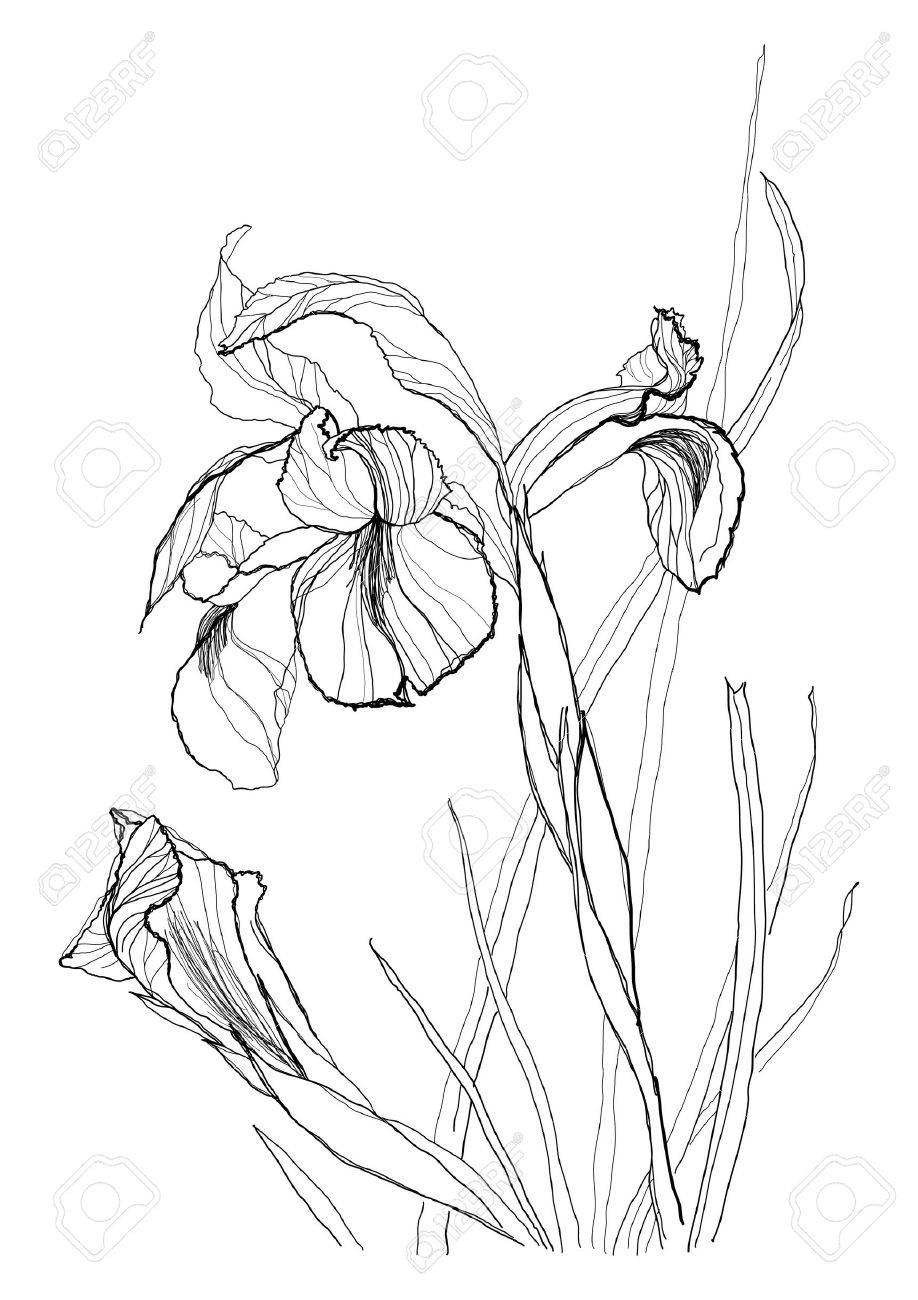 918x1300 Iris Flower Drawing On White Background Royalty Free Cliparts