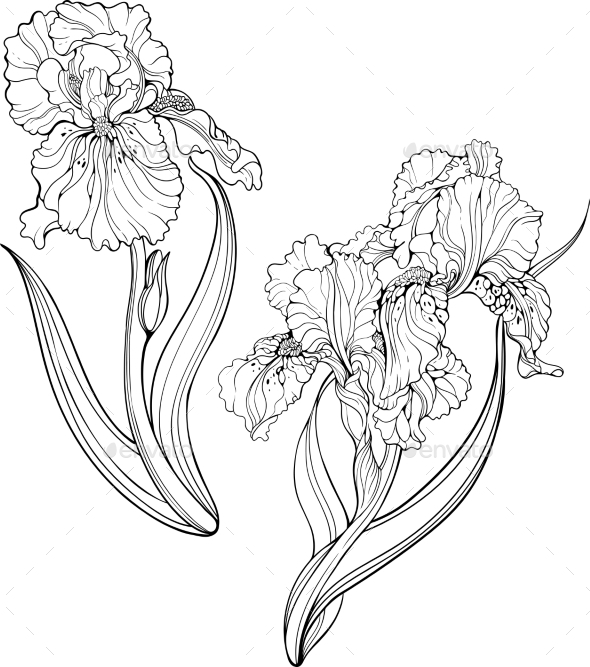 590x667 Iris Flowers Coloring Page By Nadiiaz Graphicriver