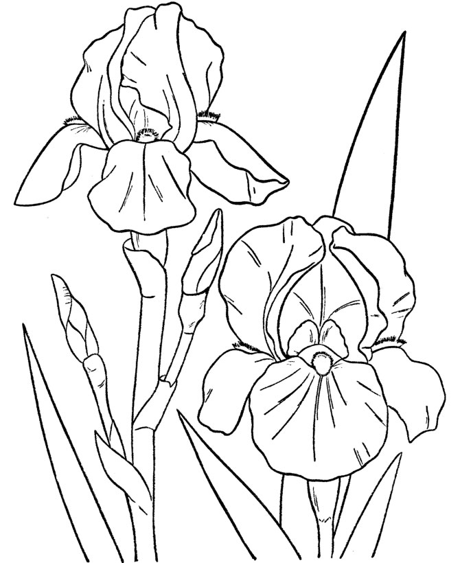 670x820 Showy Iris Flowers Colouring Pages
