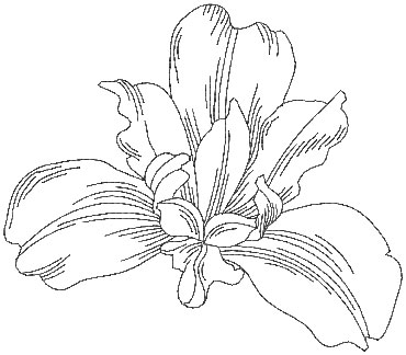 370x324 Siberian Iris (From Pen Amp Ink Flowers) Perfect For Combining