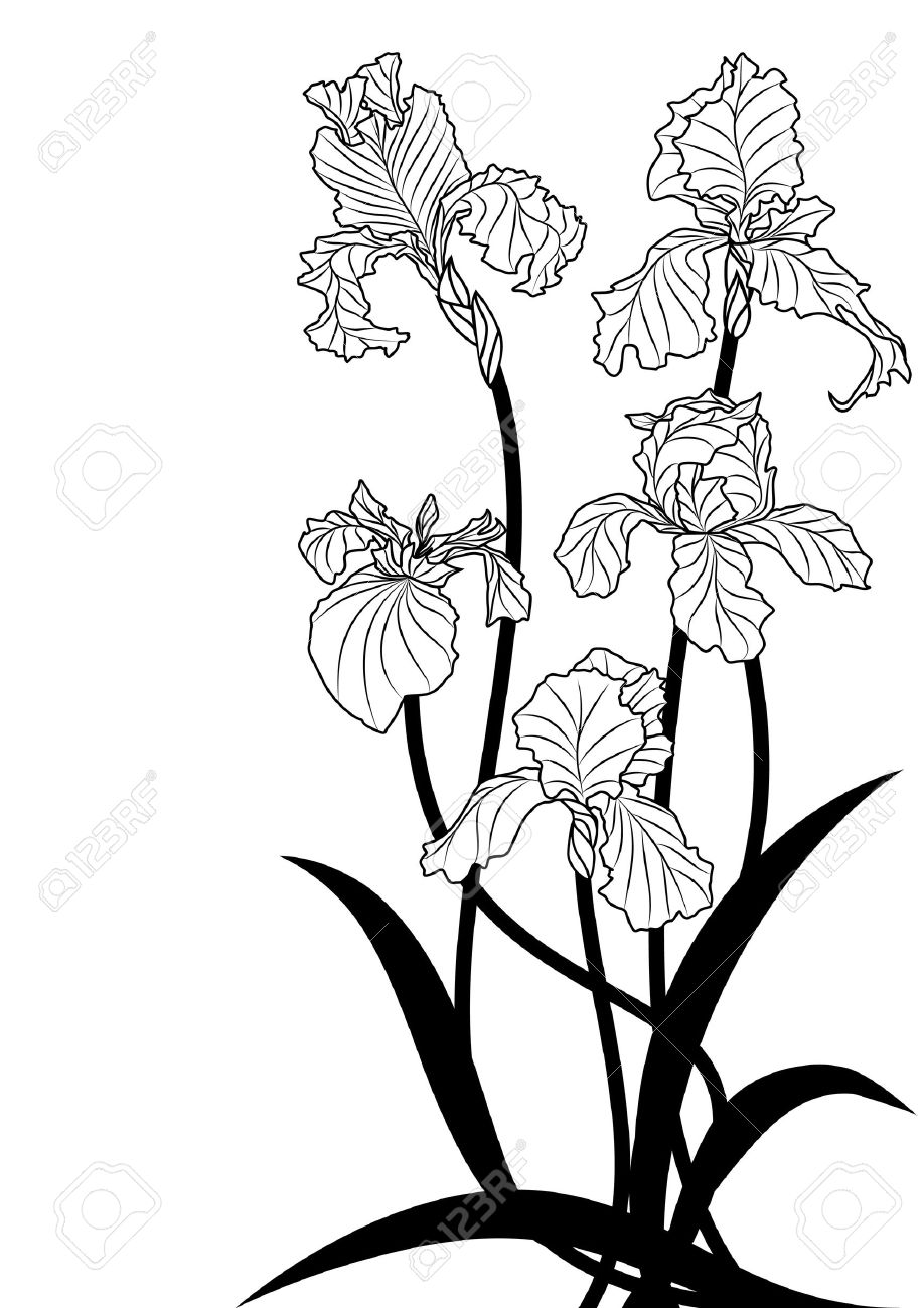 Iris Flower Drawing At Getdrawings Com Free For Personal Use Iris