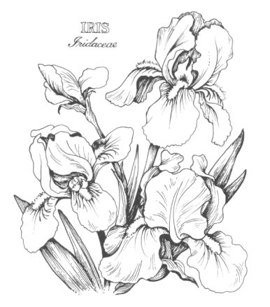 386x439 Drawn Iris Bearded Iris